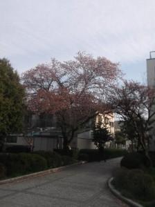 1  公園の桜の木