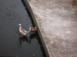 2  濁川に鴨が2羽仲良く泳いでました。