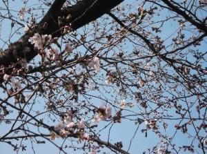 4 裏の公園で見つけた桜の花